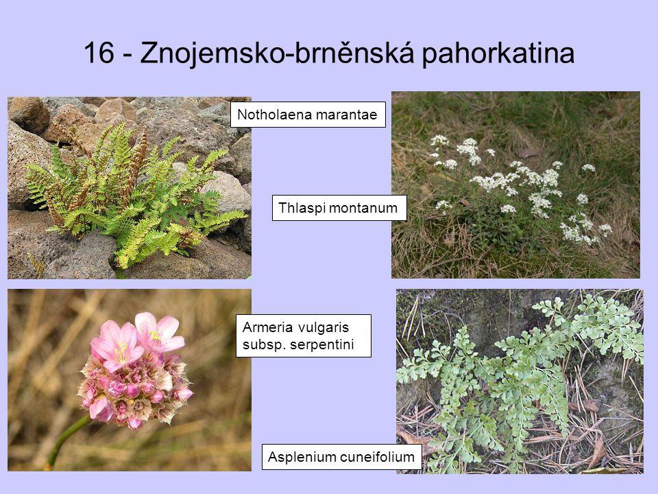 16 - Znojemsko-brněnská pahorkatina Notholaena marantae Thlaspi montanum Asplenium cuneifolium Armeria vulgaris subsp. serpentini