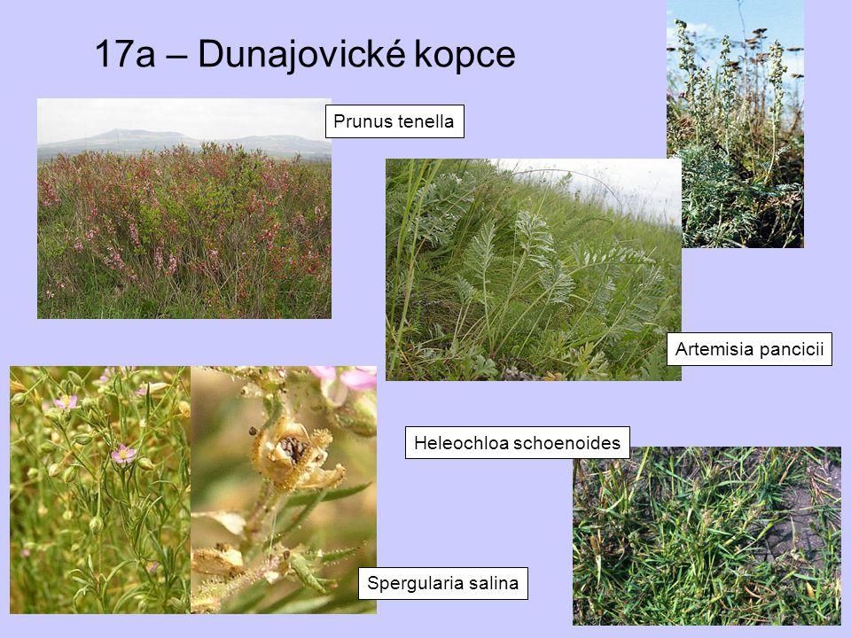 17a – Dunajovické kopce Prunus tenella Artemisia pancicii Spergularia salina Heleochloa schoenoides