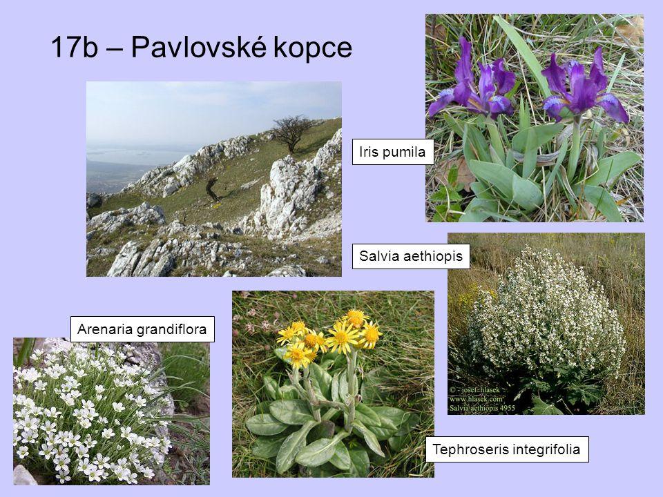 17b – Pavlovské kopce Iris pumila Salvia aethiopis Tephroseris integrifolia Arenaria grandiflora