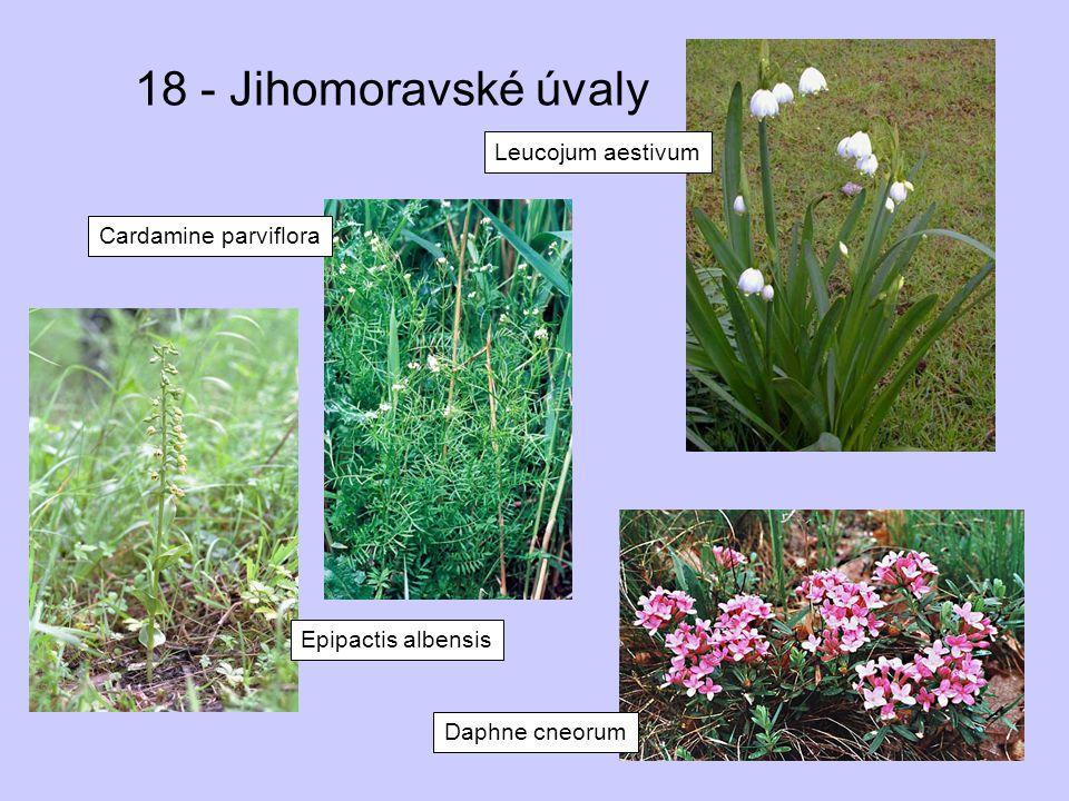 18 - Jihomoravské úvaly Epipactis albensis Cardamine parviflora Leucojum aestivum Daphne cneorum