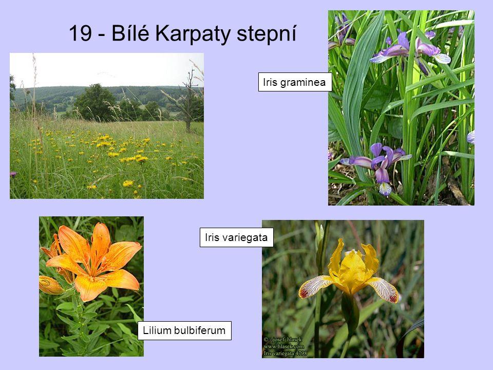 19 - Bílé Karpaty stepní Iris graminea Iris variegata Lilium bulbiferum
