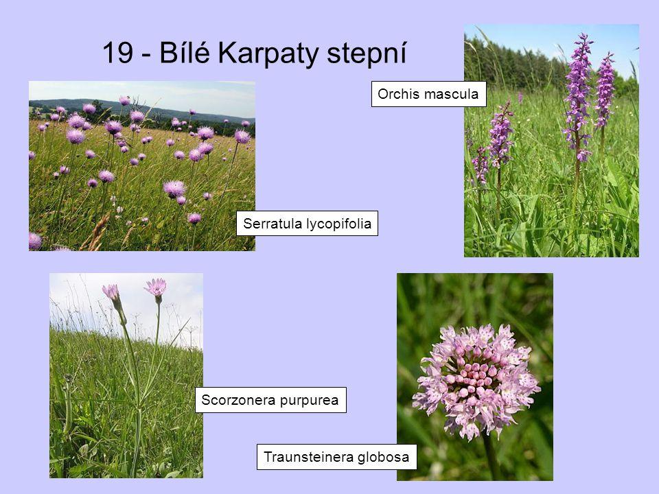 19 - Bílé Karpaty stepní Serratula lycopifolia Orchis mascula Traunsteinera globosa Scorzonera purpurea
