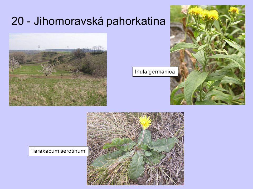 20 - Jihomoravská pahorkatina Inula germanica Taraxacum serotinum