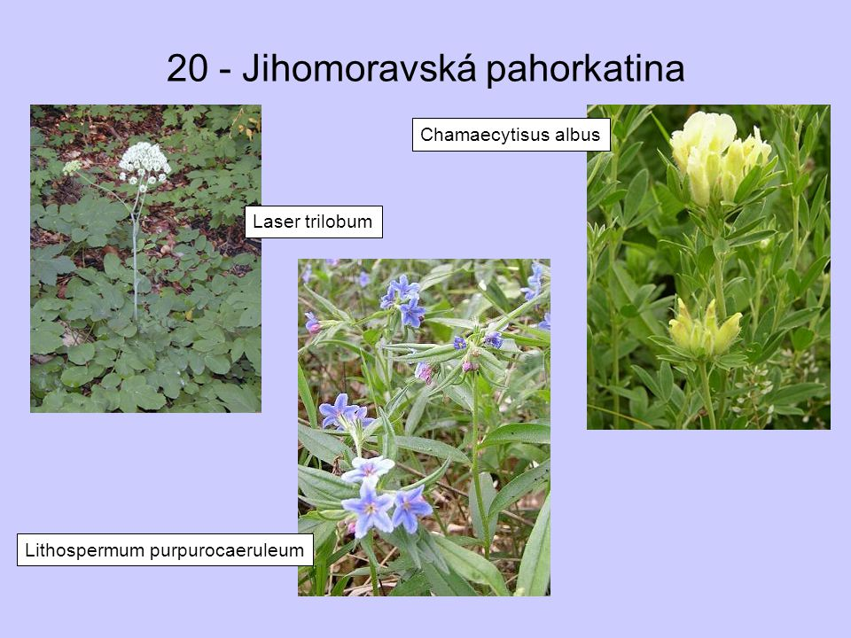 20 - Jihomoravská pahorkatina Laser trilobum Lithospermum purpurocaeruleum Chamaecytisus albus