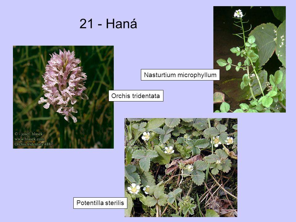 21 - Haná Orchis tridentata Nasturtium microphyllum Potentilla sterilis