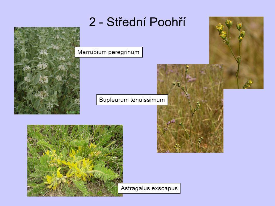2 - Střední Poohří Marrubium peregrinum Astragalus exscapus Bupleurum tenuissimum