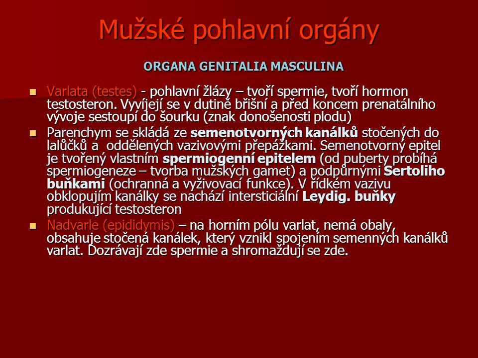 Mužské pohlavní orgány ORGANA GENITALIA MASCULINA Varlata (testes) - pohlavní žlázy – tvoří spermie, tvoří hormon testosteron.