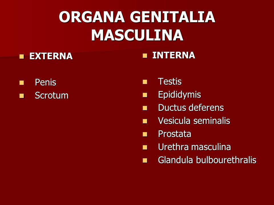 ORGANA GENITALIA MASCULINA EXTERNA EXTERNA Penis Penis Scrotum Scrotum INTERNA INTERNA Testis Testis Epididymis Epididymis Ductus deferens Ductus deferens Vesicula seminalis Vesicula seminalis Prostata Prostata Urethra masculina Urethra masculina Glandula bulbourethralis Glandula bulbourethralis