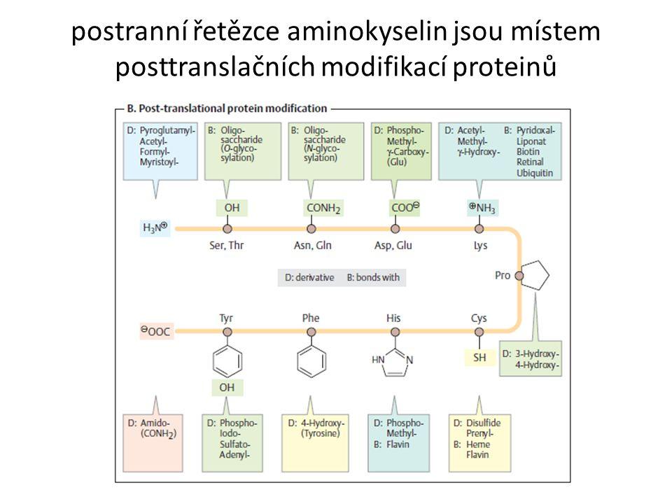 postranní řetězce aminokyselin jsou místem posttranslačních modifikací proteinů