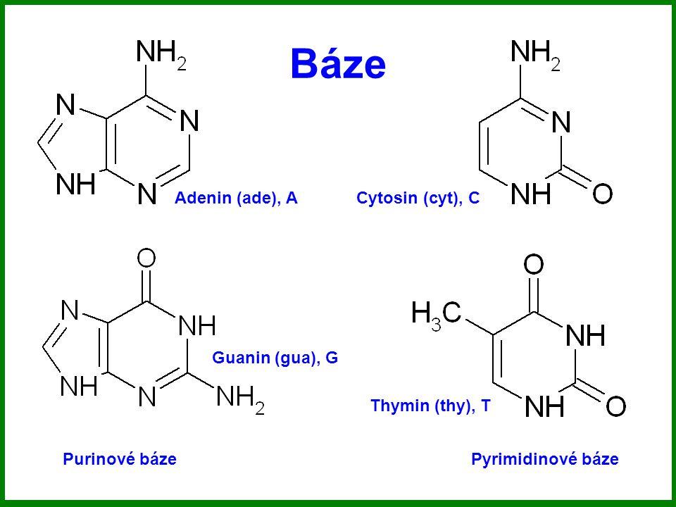 Báze Purinové bázePyrimidinové báze Adenin (ade), A Guanin (gua), G Cytosin (cyt), C Thymin (thy), T