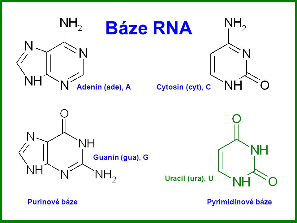 Báze RNA Purinové bázePyrimidinové báze Adenin (ade), A Guanin (gua), G Cytosin (cyt), C Uracil (ura), U