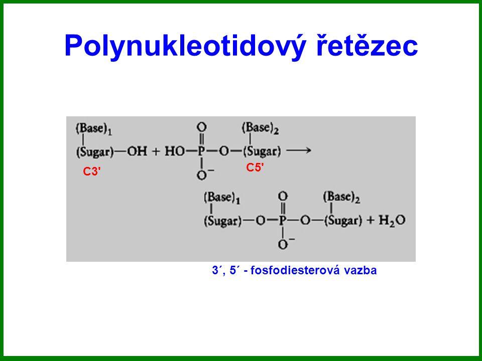 Polynukleotidový řetězec C3 C5 3´, 5´ - fosfodiesterová vazba