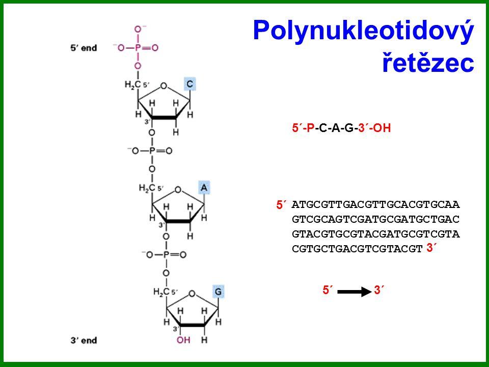 Polynukleotidový řetězec 5´-P-C-A-G-3´-OH ATGCGTTGACGTTGCACGTGCAA GTCGCAGTCGATGCGATGCTGAC GTACGTGCGTACGATGCGTCGTA CGTGCTGACGTCGTACGT 5´ 3´ 5´ 3´