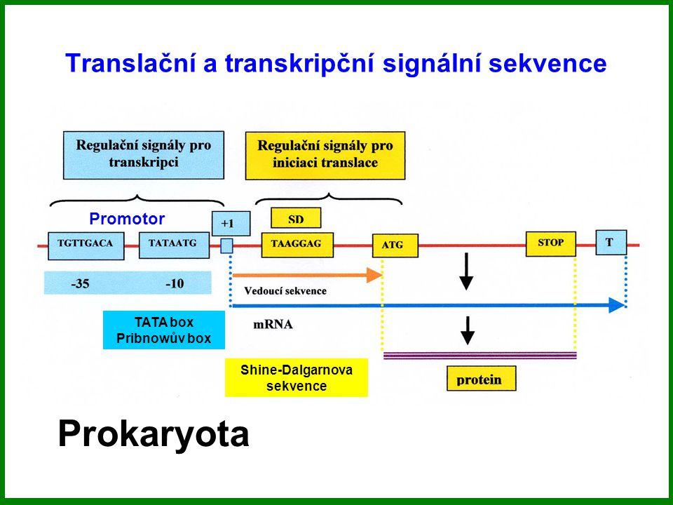 Translační a transkripční signální sekvence TATA box Pribnowův box Promotor Shine-Dalgarnova sekvence Prokaryota
