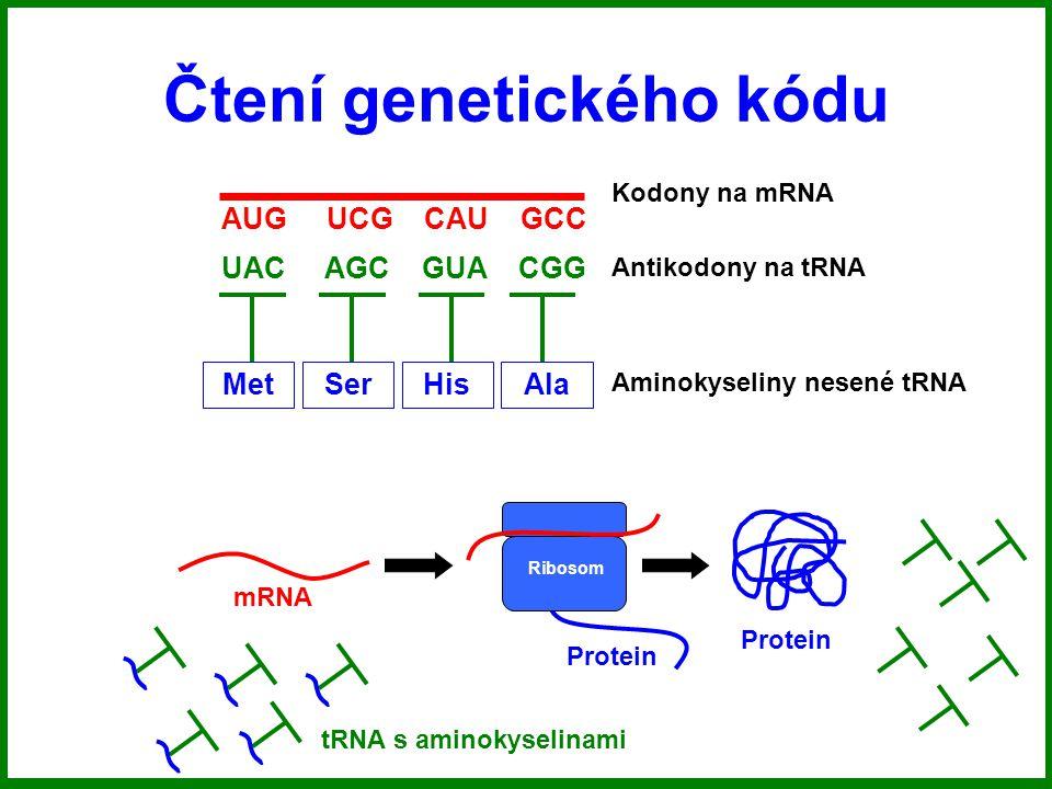 Čtení genetického kódu AUG UCG CAU GCC UAC AGC GUA CGG MetSerHisAla Kodony na mRNA Antikodony na tRNA Aminokyseliny nesené tRNA mRNA Ribosom Protein tRNA s aminokyselinami