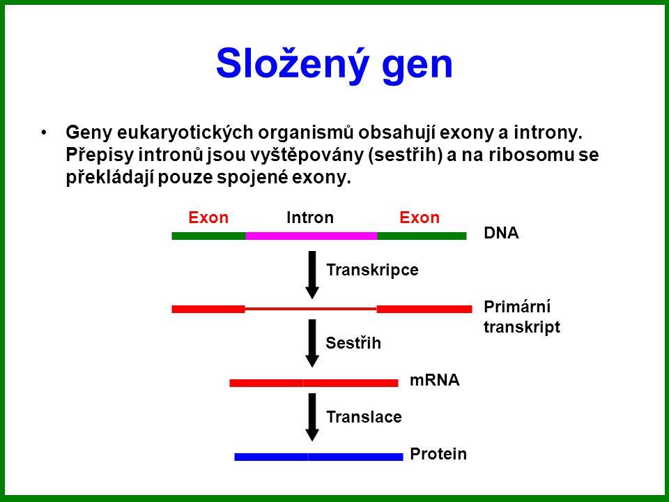 Složený gen Geny eukaryotických organismů obsahují exony a introny.