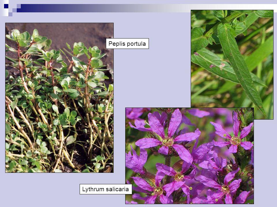 Lythrum salicaria Peplis portula