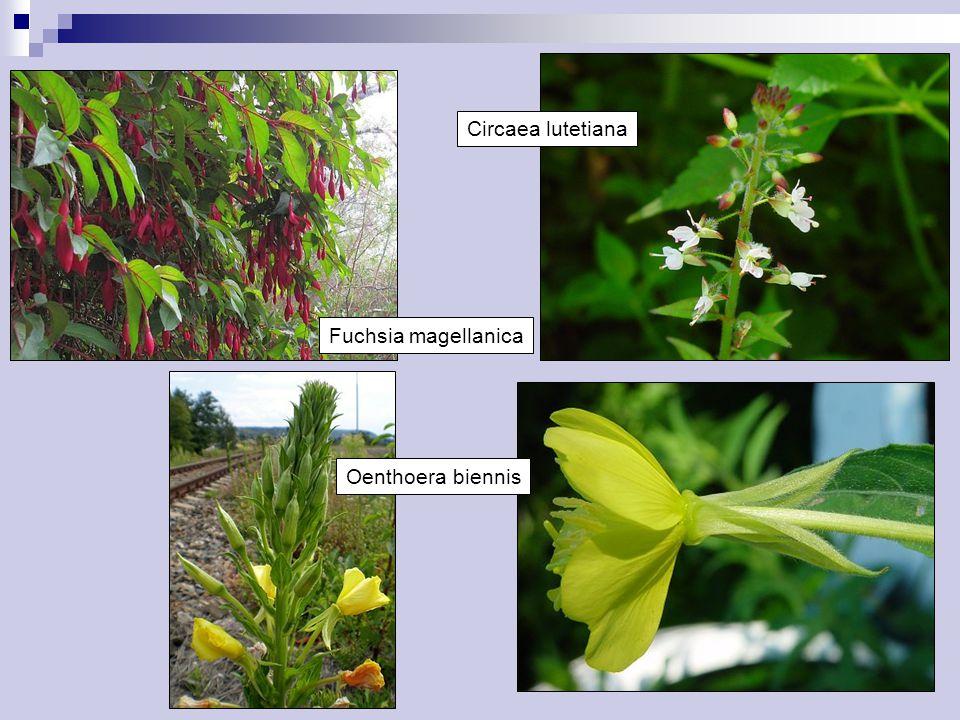 Fuchsia magellanica Oenthoera biennis Circaea lutetiana