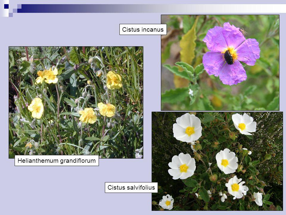 Helianthemum grandiflorum Cistus salvifolius Cistus incanus
