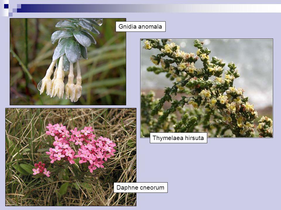 Daphne cneorum Thymelaea hirsuta Gnidia anomala
