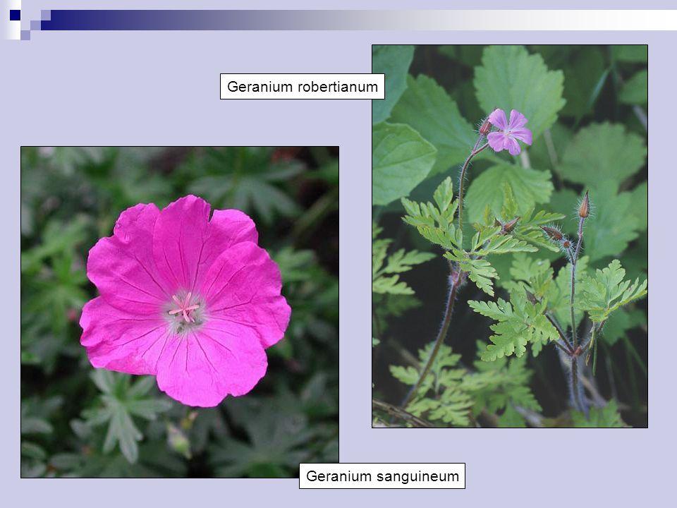 Geranium robertianum Geranium sanguineum
