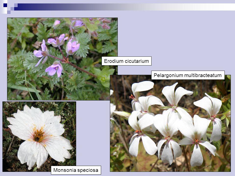 Erodium cicutarium Pelargonium multibracteatum Monsonia speciosa