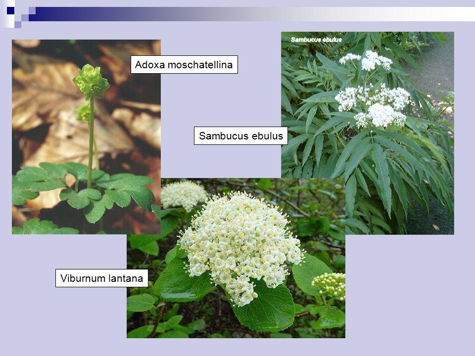 Adoxa moschatellina Viburnum lantana Sambucus ebulus