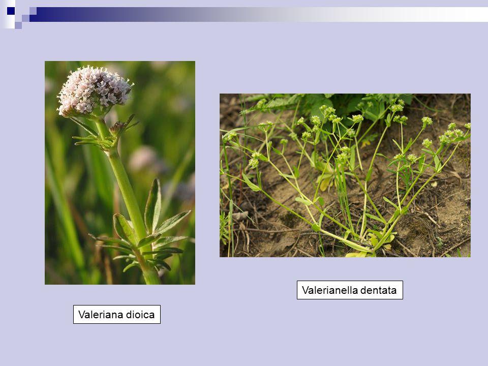 Valeriana dioica Valerianella dentata