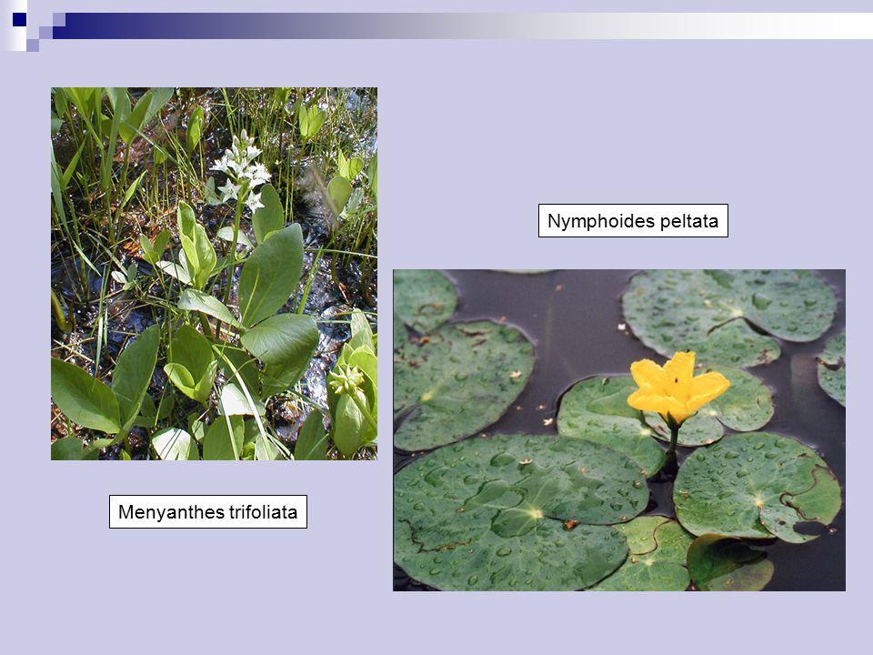 Menyanthes trifoliata Nymphoides peltata