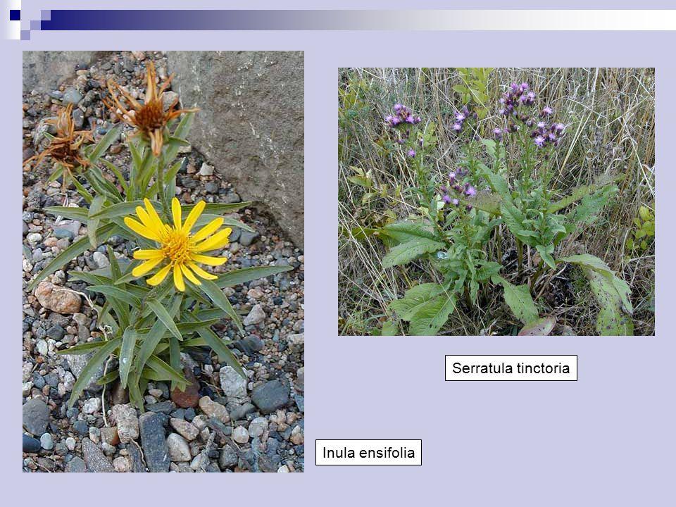 Inula ensifolia Serratula tinctoria