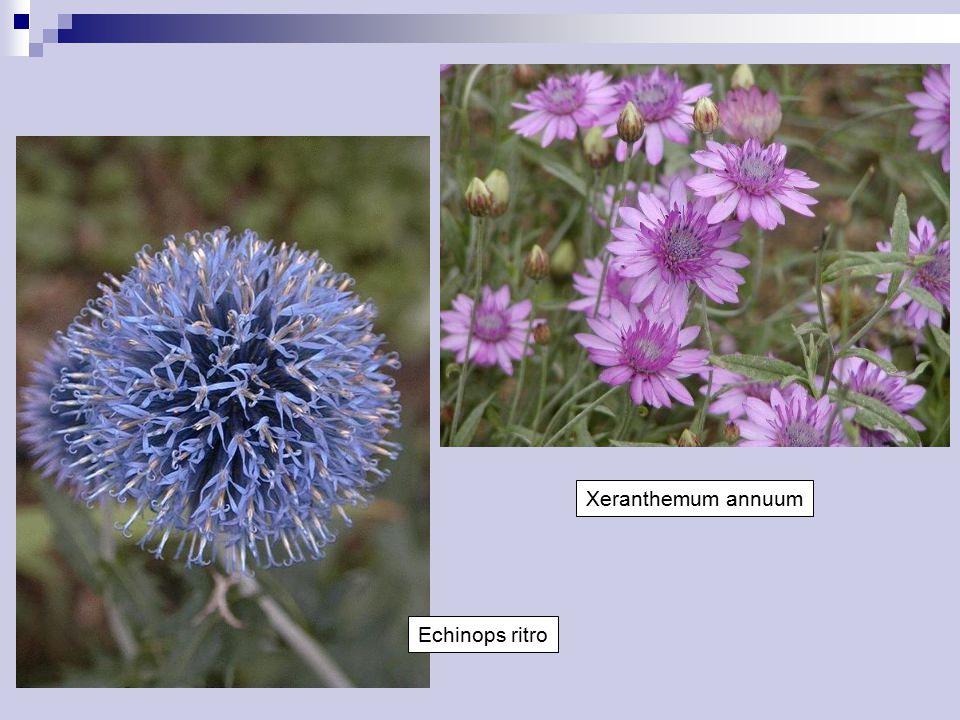 Echinops ritro Xeranthemum annuum