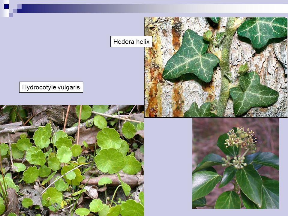 Apiaceae Byliny, vzácně keře, výjimečně dvoudomé Listy střídavé, výjimečně jednoduché, zpravidla členěné nebo složené  Zpravidla výrazně vyvinutá pochva Palisty chybějí Květy v okolících Květy obou- i jednopohlavné, aktinomorfní, tetracyklické, pentamerické  Okrajové květy někdy paprskující, zygomorfní Květní obaly rozlišené, kalich redukovaný nebo chybí, koruna volná Tyčinek 5 Gyneceum cenokarpní, s karpoforem, semeník spodní  Plodolisty na vrcholu se žláznatým terčem Plodolisty 2, pouzdra 2 Čnělky 2 Placenta axilární, vajíčko jedno v každém pouzdře, anatropní Embryo malé, endosperm olejnatý Plod rozpadavý Časté silice nebo alkaloidy Kosmopolitní (těžiště v mírném pásmu): 434/3780 ČR: 45/100
