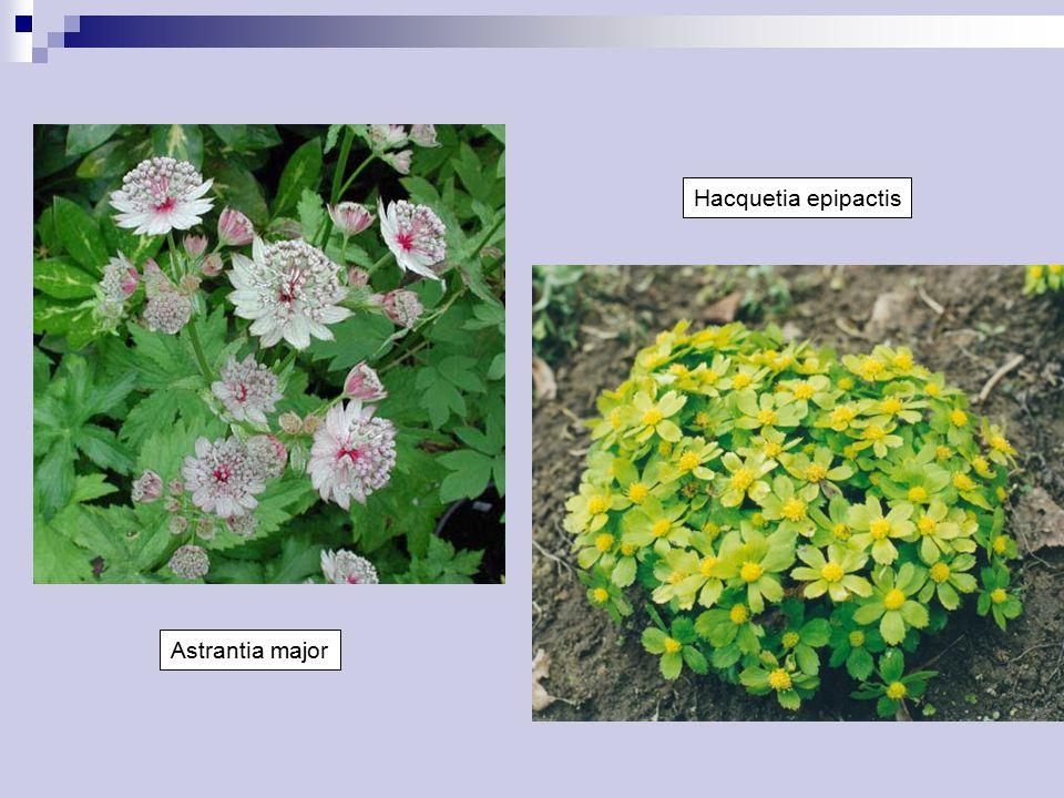 Hacquetia epipactis Astrantia major