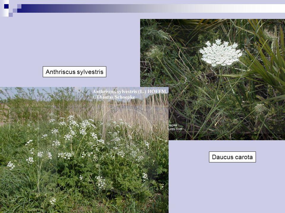 Daucus carota Anthriscus sylvestris