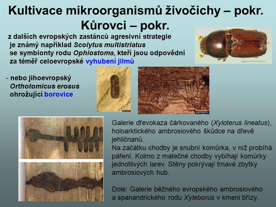 Kultivace mikroorganismů živočichy – pokr. Kůrovci – pokr. z dalších evropských zastánců agresivní strategie je známý například Scolytus multistriatus