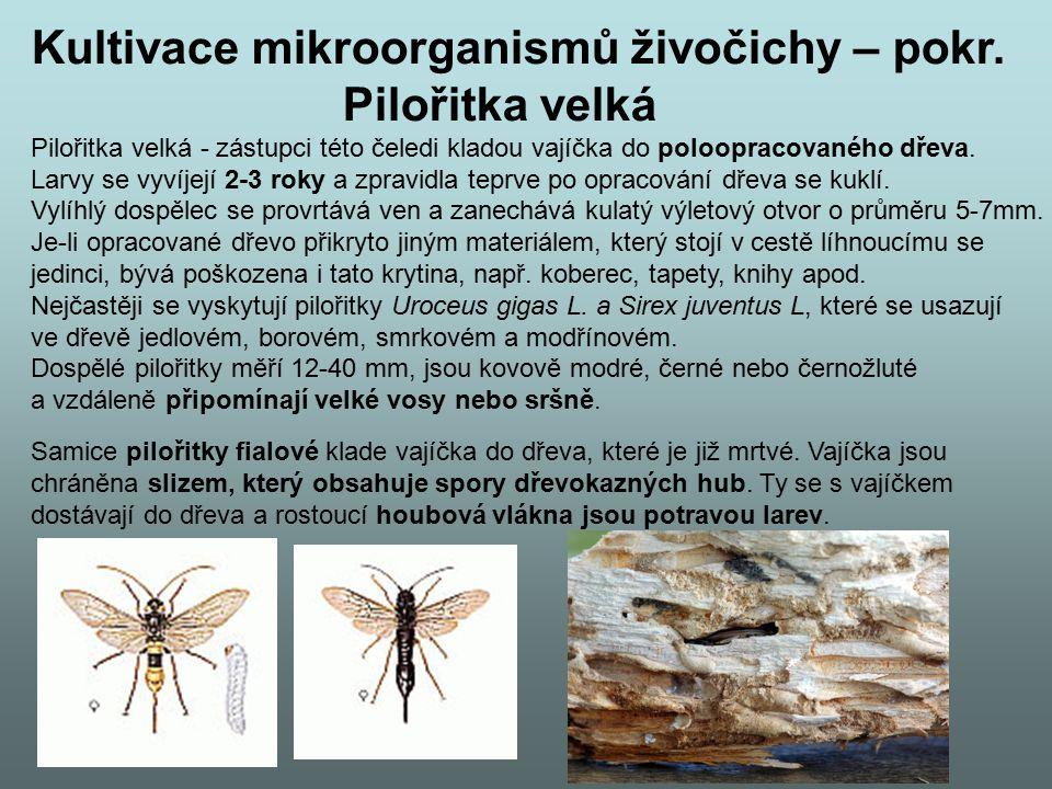 Kultivace mikroorganismů živočichy – pokr. Pilořitka velká Pilořitka velká - zástupci této čeledi kladou vajíčka do poloopracovaného dřeva. Larvy se v