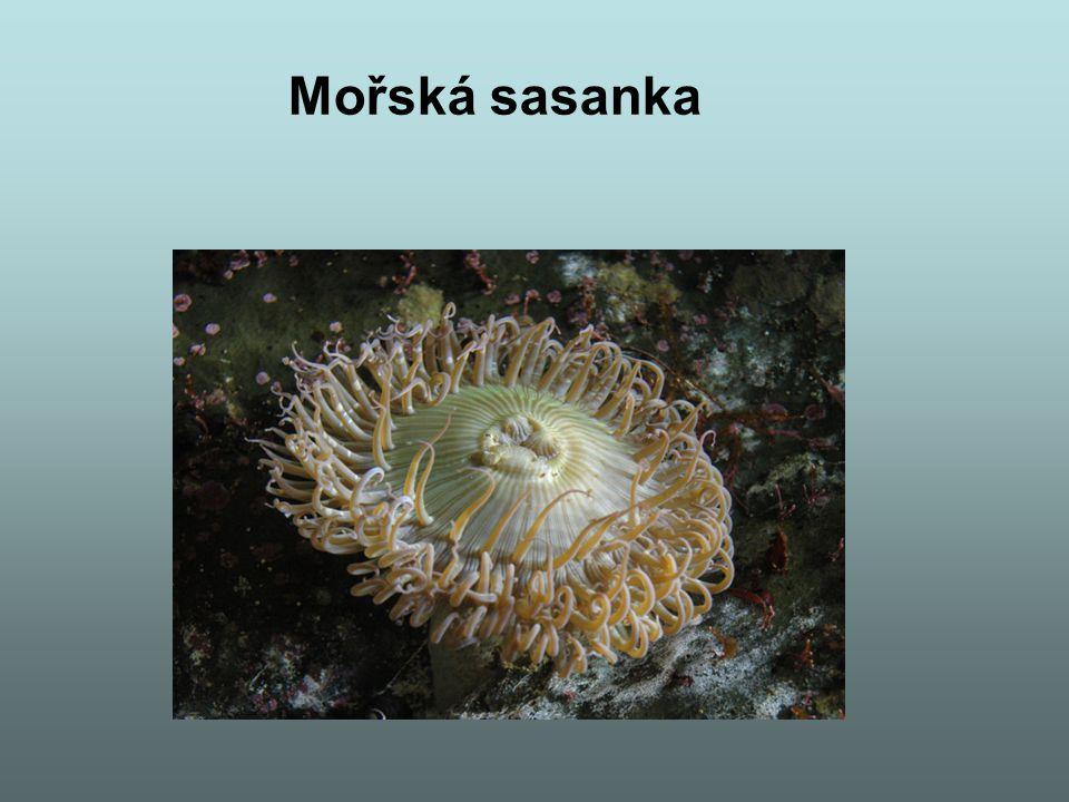 Mořská sasanka