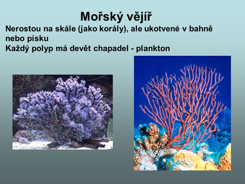 Mořský vějíř Nerostou na skále (jako korály), ale ukotvené v bahně nebo písku Každý polyp má devět chapadel - plankton
