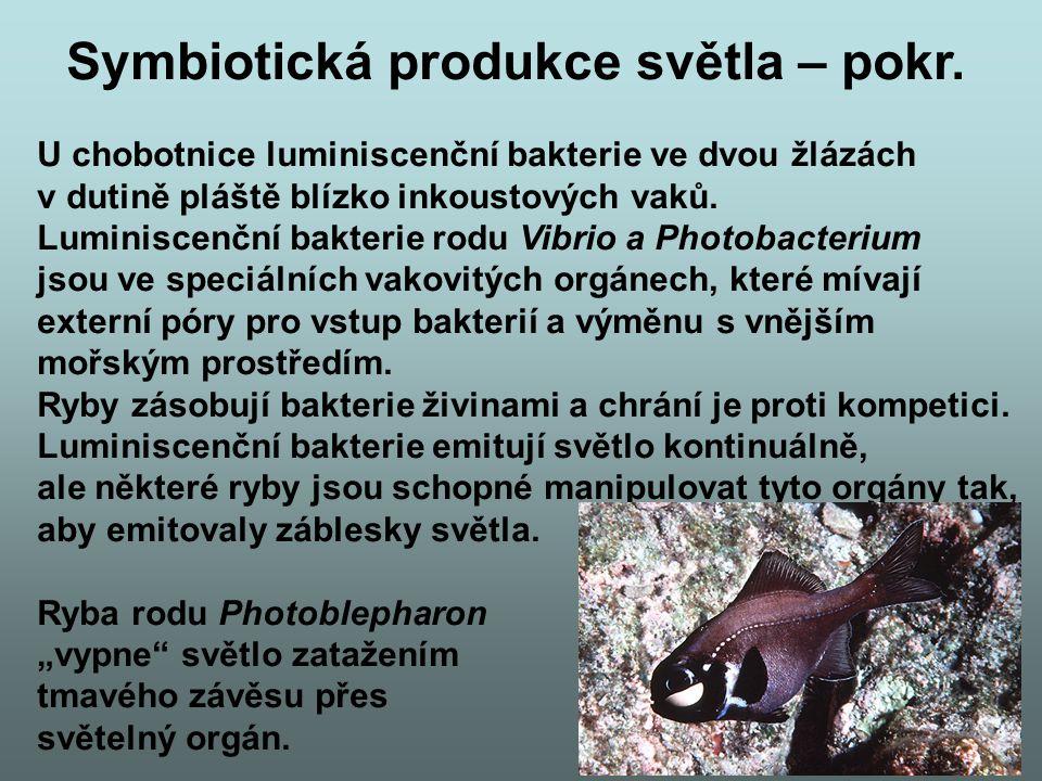 Symbiotická produkce světla – pokr. U chobotnice luminiscenční bakterie ve dvou žlázách v dutině pláště blízko inkoustových vaků. Luminiscenční bakter