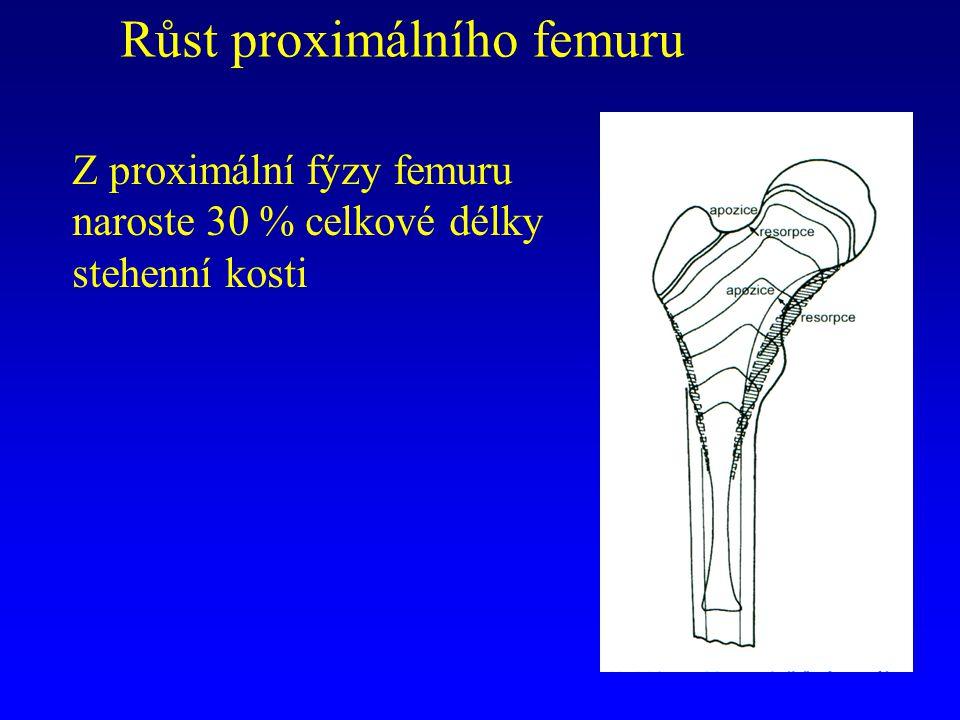 Růst proximálního femuru Z proximální fýzy femuru naroste 30 % celkové délky stehenní kosti