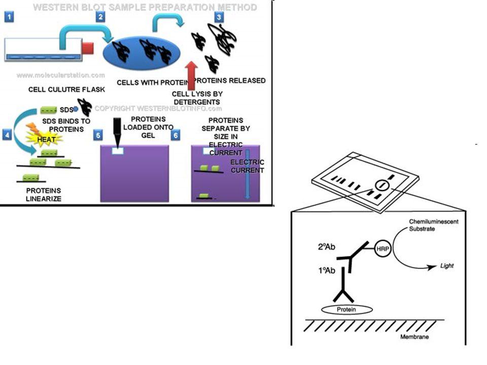 Detekce proteinů 1.Příprava vzorků nutné dezintegrovat (lyzovat) buňky, abychom proteiny dostaly ven do roztoku - nutné dezintegrovat (lyzovat) buňky, abychom proteiny dostaly ven do roztoku - možno připravit lyzáty celobuňěčné, membránové, cytoplazmatické, jaderné – záleží na použitém pufru - nutno přidat inhibitory proteáz a fosfatáz - určení koncentrace proteinů (komerčně dodávaný kit) naředit všechny vzorky na stejnou koncentraci - denaturace – složité sekundární a terciární struktury proteinů – protilátka by se sem nedostala (rozeznává jen malý úsek proteinu (epitop) - SDS (sodium dodecylsulphate) a vysoká teplota - SDS (sodium dodecylsulphate) a vysoká teplota - SDS udělí všem proteinům stejný negativní náboj - SDS udělí všem proteinům stejný negativní náboj