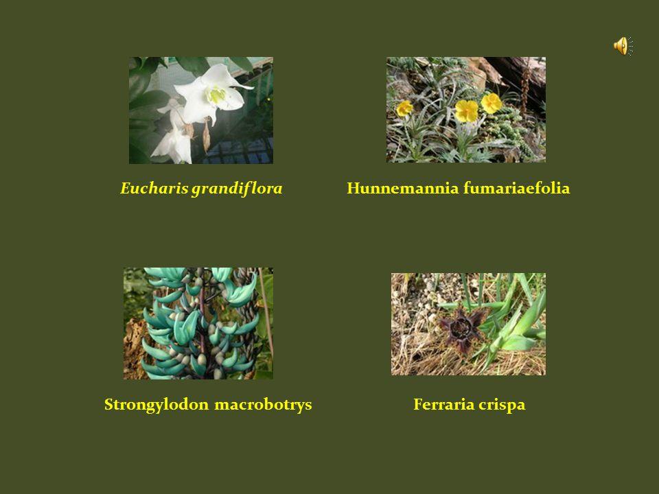 Eucharis grandifloraHunnemannia fumariaefolia Strongylodon macrobotrysFerraria crispa