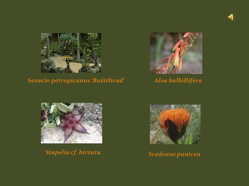 Senecio petropicanus 'Buštěhrad'Aloe bulbillifera Stapelia cf. hirsuta Scadoxus puniceu