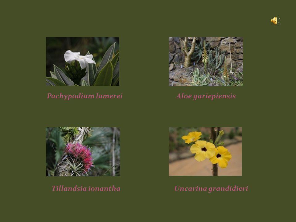 Pachypodium lamereiAloe gariepiensis Tillandsia ionanthaUncarina grandidieri