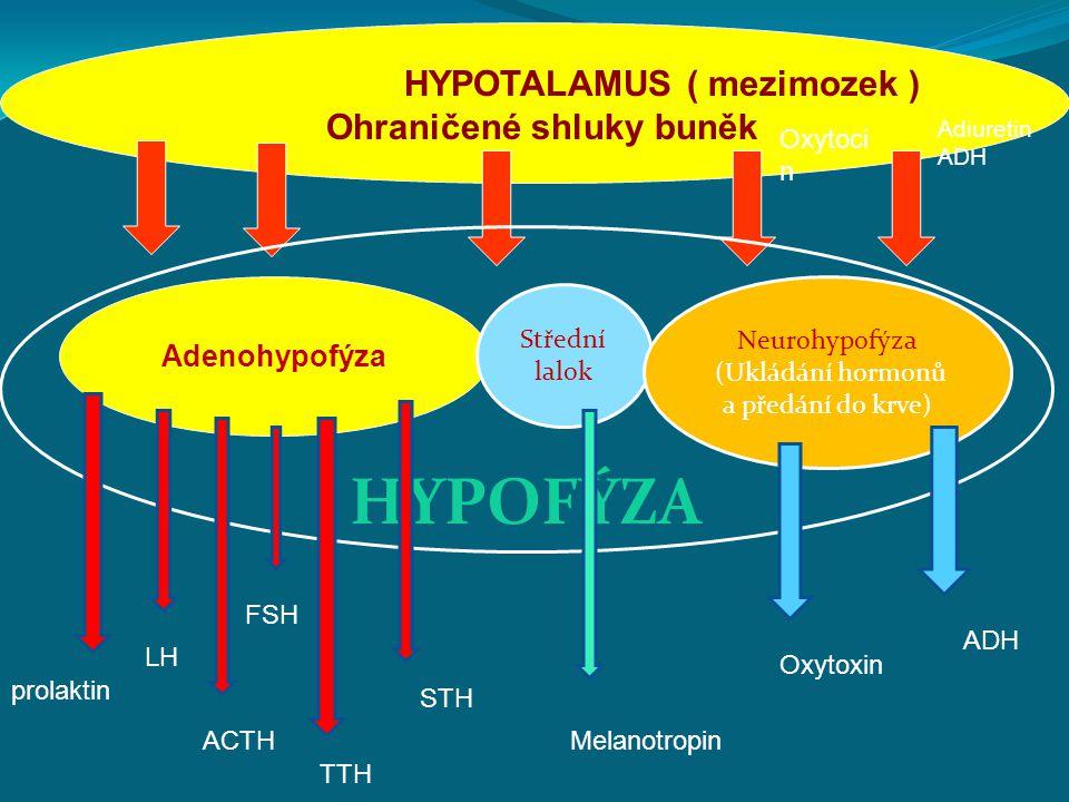 HYPOTALAMUS ( mezimozek ) Ohraničené shluky buněk Adenohypofýza Střední lalok Neurohypofýza (Ukládání hormonů a předání do krve) HYPOFÝZA Adiuretin ADH Oxytoci n Melanotropin STH TTH FSH ACTH LH prolaktin Oxytoxin ADH