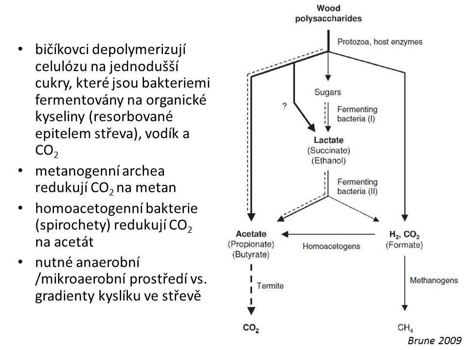 bičíkovci depolymerizují celulózu na jednodušší cukry, které jsou bakteriemi fermentovány na organické kyseliny (resorbované epitelem střeva), vodík a
