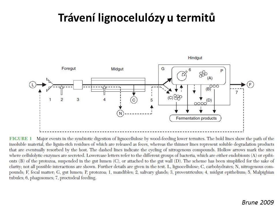 Trávení lignocelulózy u termitů Brune 2009