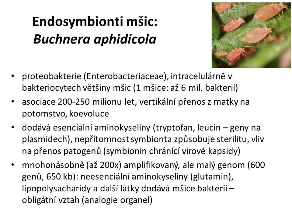 Endosymbionti mšic: Buchnera aphidicola proteobakterie (Enterobacteriaceae), intracelulárně v bakteriocytech většiny mšic (1 mšice: až 6 mil. bakterií
