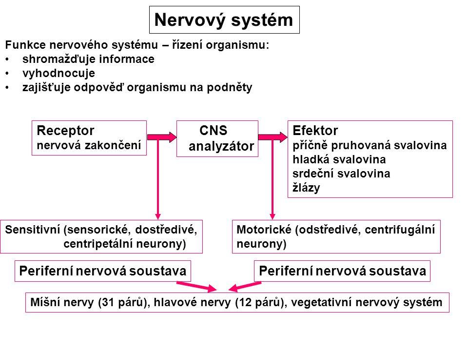 Nervový systém Funkce nervového systému – řízení organismu: shromažďuje informace vyhodnocuje zajišťuje odpověď organismu na podněty Receptor nervová zakončení CNS analyzátor Efektor příčně pruhovaná svalovina hladká svalovina srdeční svalovina žlázy Sensitivní (sensorické, dostředivé, centripetální neurony) Motorické (odstředivé, centrifugální neurony) Periferní nervová soustava Míšní nervy (31 párů), hlavové nervy (12 párů), vegetativní nervový systém