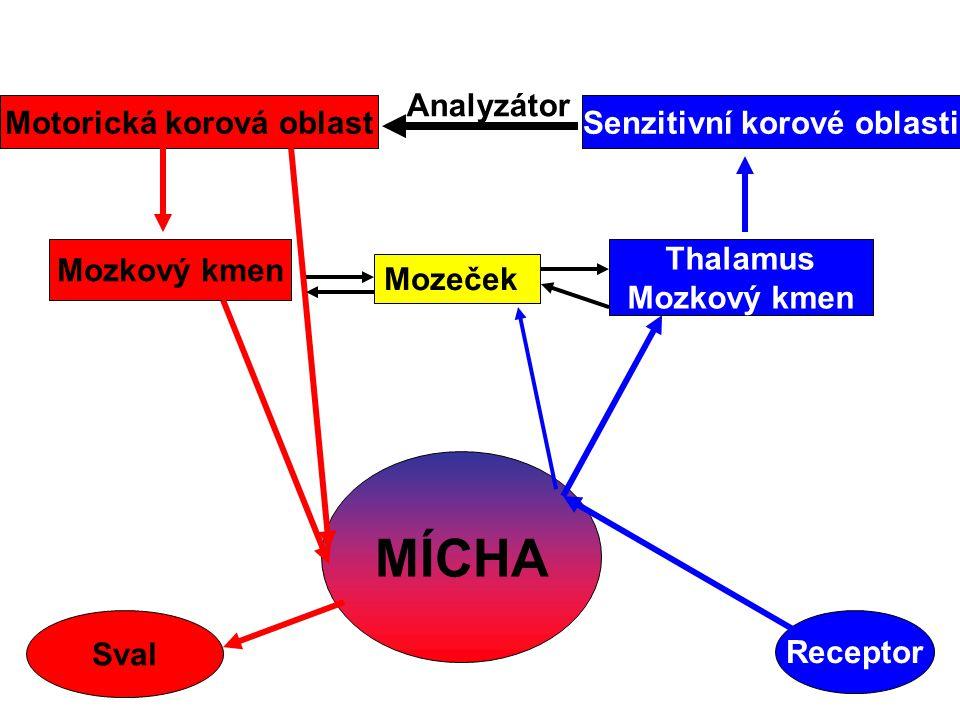 MÍCHA Receptor Thalamus Mozkový kmen Senzitivní korové oblasti Motorická korová oblast Mozkový kmen Sval Mozeček Analyzátor